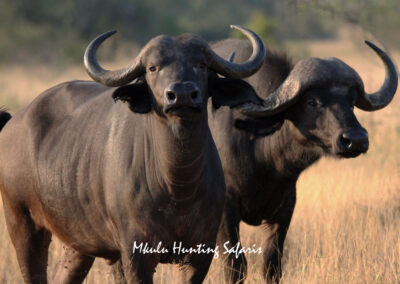 Cape buffalo cow hunt South Africa