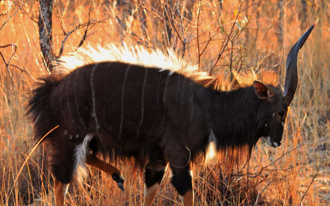 Bow hunt nyala package South Africa