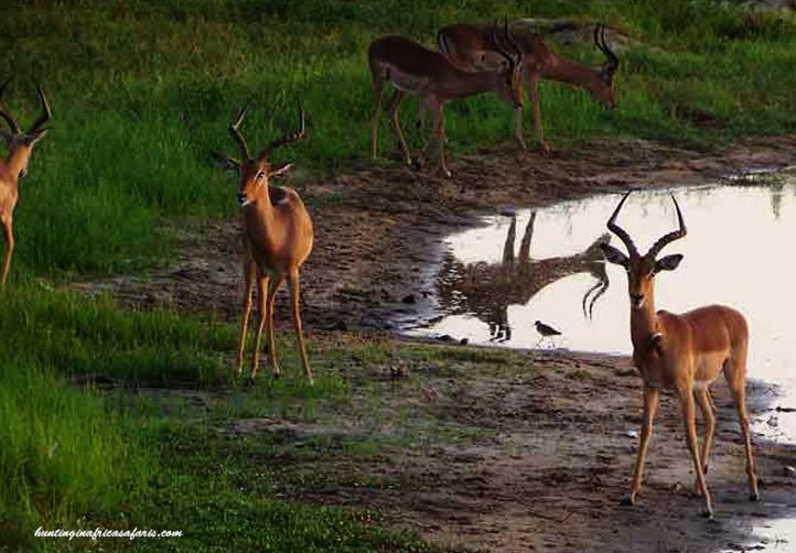 Nyala bow hunt package impala
