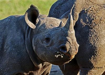 Black rhino calf