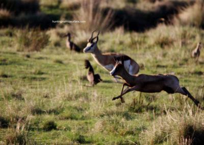 black-springbok