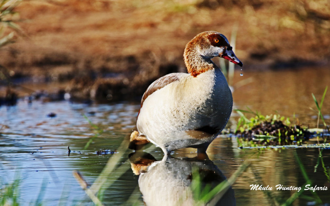 Bird hunting in South Africa – Wing shooting in South Africa