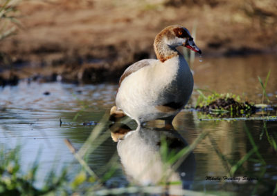 Wing shooting Egyptian geese