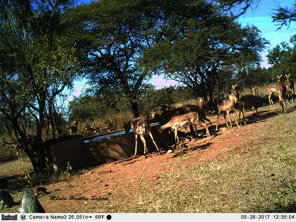 Impala on trail cam
