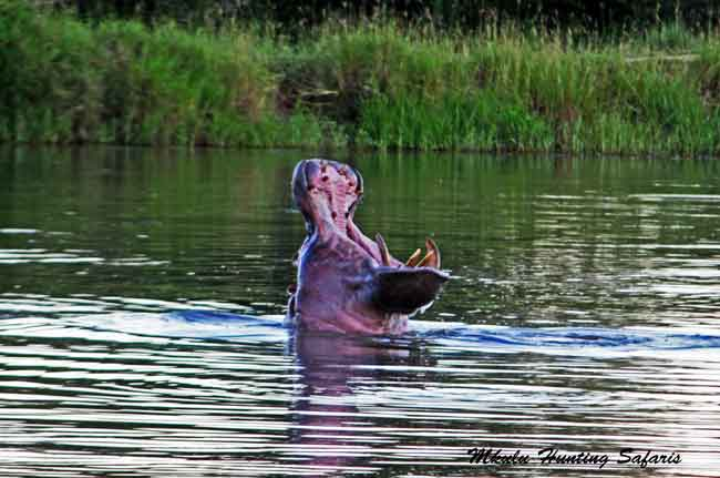 Bow hunting hippos South Africa