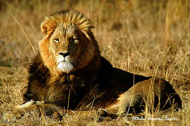African lion bow hunting packages