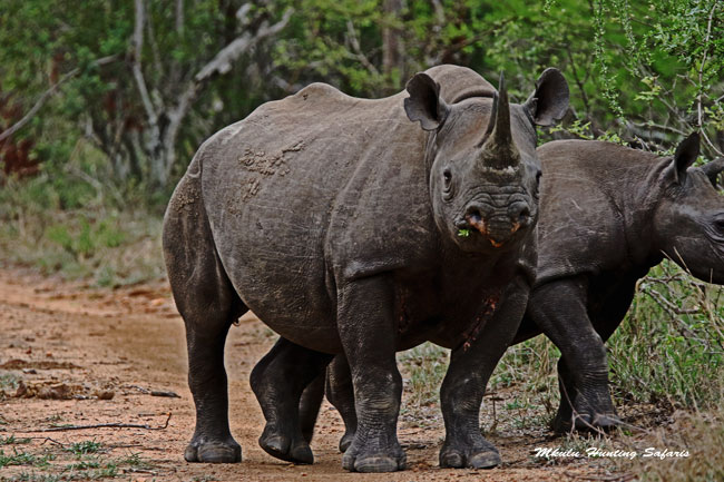 Trophy hunting black rhinos