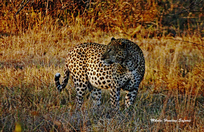 Hunting leopards in South Africa