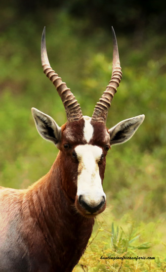 Blesbok bow hunting prices