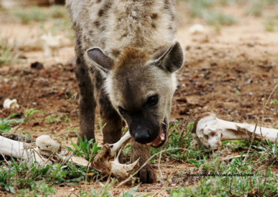 Hunting hyena