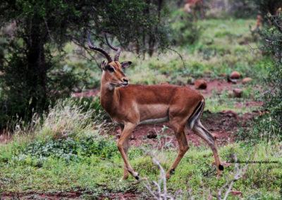 Hunting impala shot placement