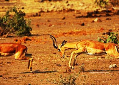 Hunting impala with rifle