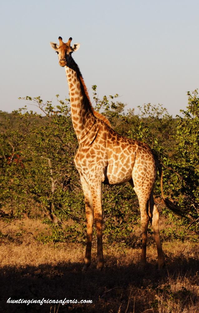 Bow hunt a giraffe