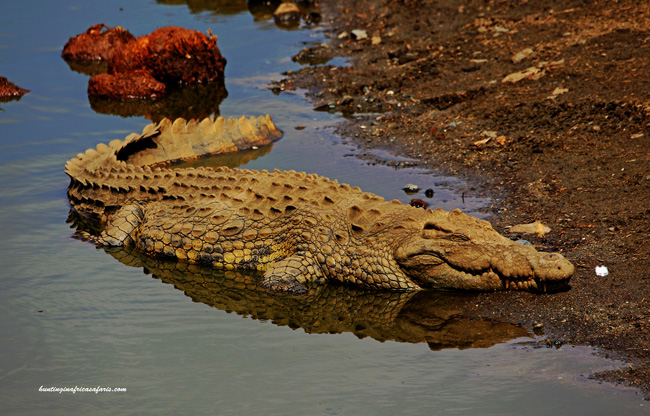 Bow hunt crocodiles