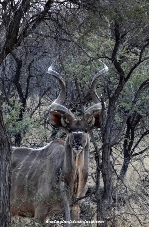 Kudu hunting