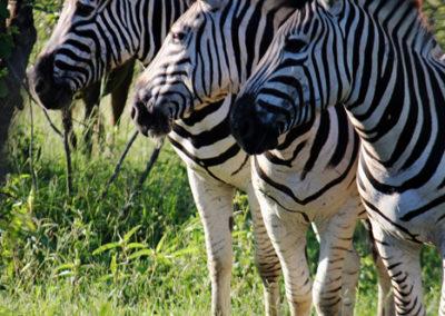 Zebra hunting prices Africa