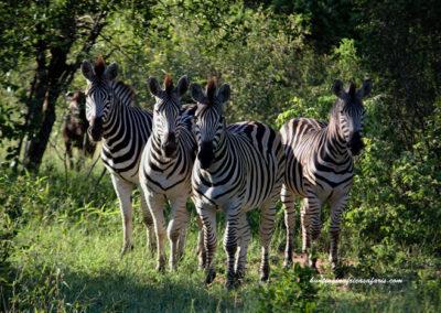 Zebra shot placement