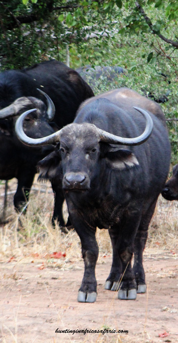 Cape buffalo cow hunt South Africa with Mkulu African