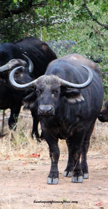 Cape buffalo cow hunts