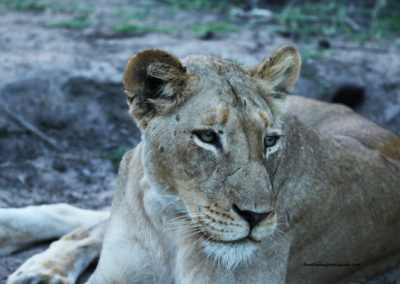 Hunting lioness package South Africa