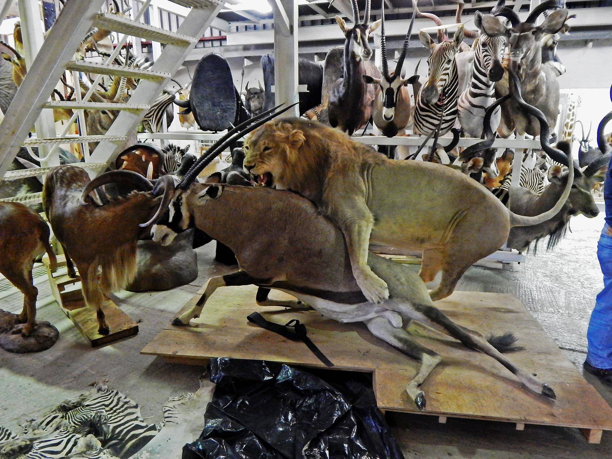 Taxidermy Mkulu African Hunting Safaris