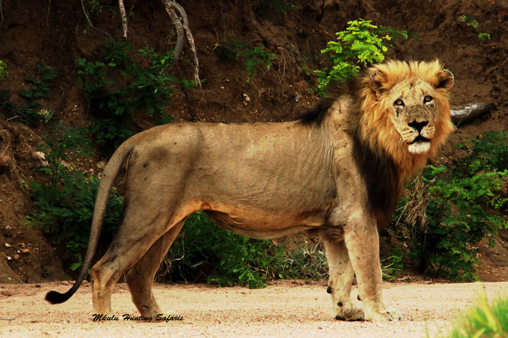 African lion hunting package