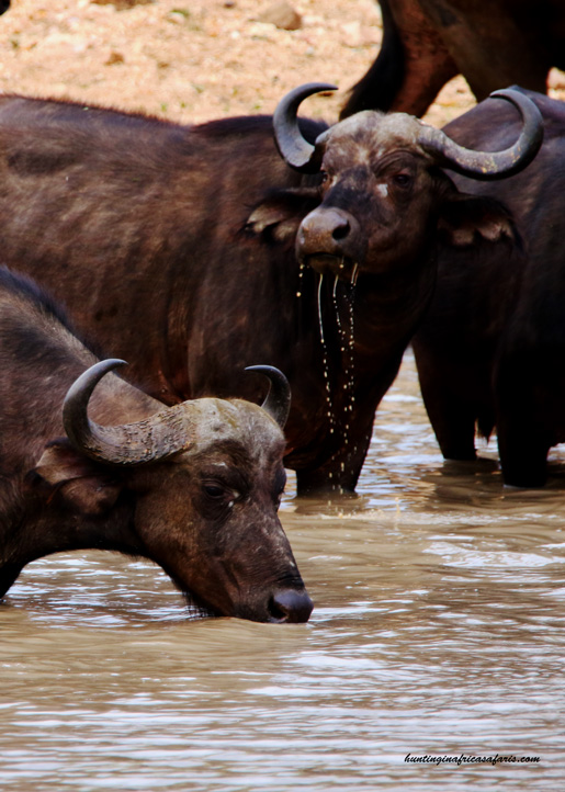 Broad head bow hunting Cape buffalo