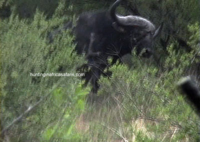 Cape buffalo charges hunter