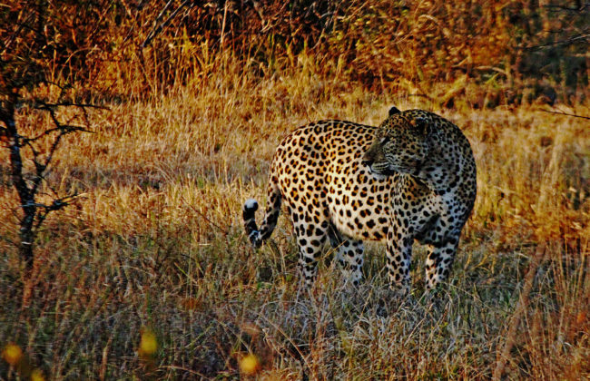 Hunting leopards in Africa