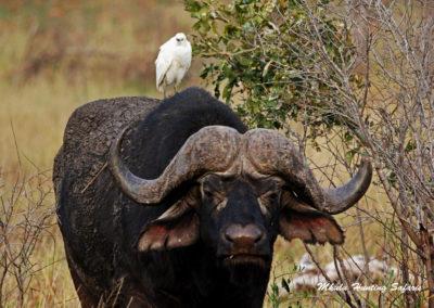 Cape buffalo and friend