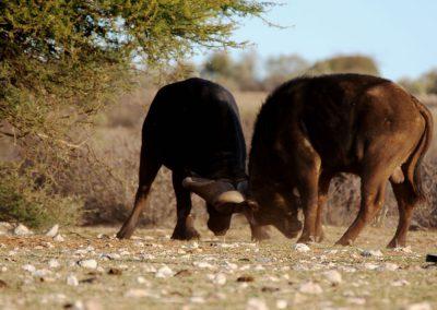 Cape buffalo fighting
