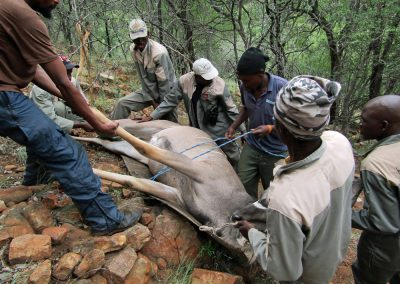 Loading kudu after a hunt in South Africa