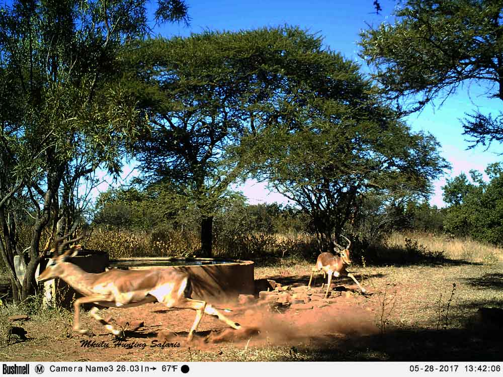Impala bow hunting on trail cam