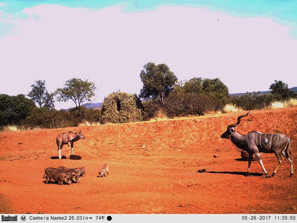 Kudu on trail cam
