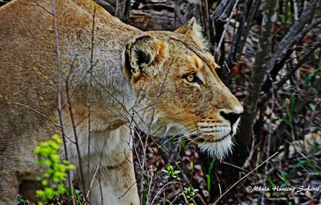 Bow hunting lioness South Africa