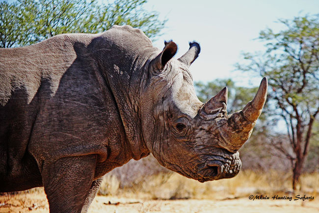 Hunting white rhinos