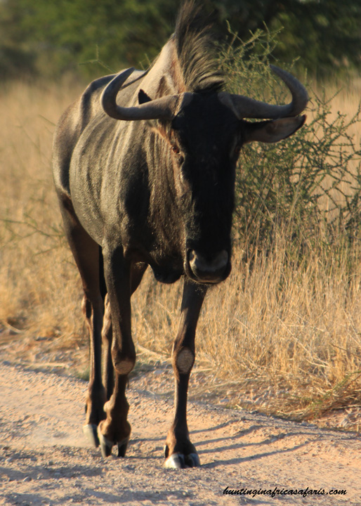 Bow hunt blue wildebeest Africa