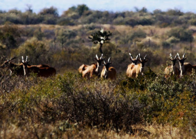 Bow hunt eland in South Africa