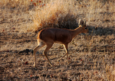 Bow hunt steenbok South Africa