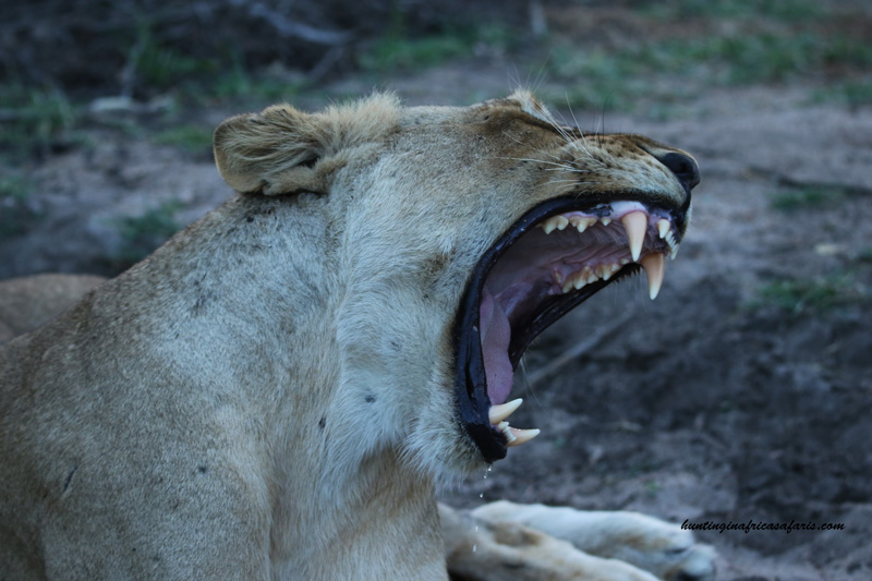 Bow hunting African lions broad heads