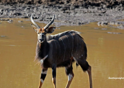 Bow hunting nyala South Africa