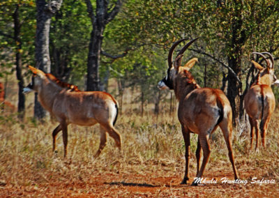 Bow hunting roan antelope draw weight
