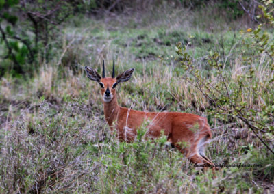 Bow hunting steenbok in Africa draw weight