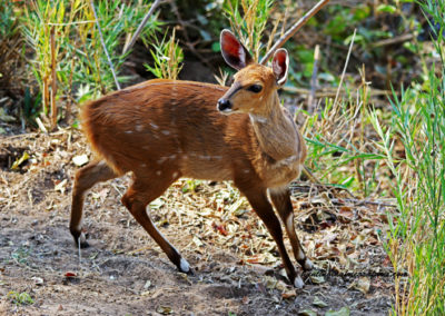 Bushbuck female