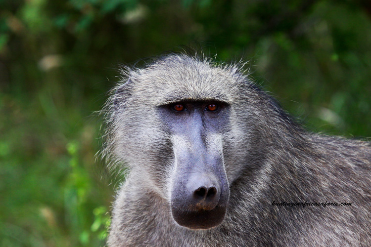 Hunting baboon South Africa