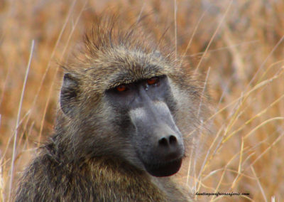 Hunting baboons in South Africa shot distance