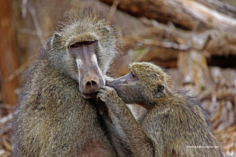 Hunting baboons