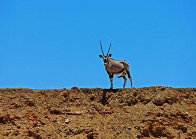 Hunting gemsbok with 308