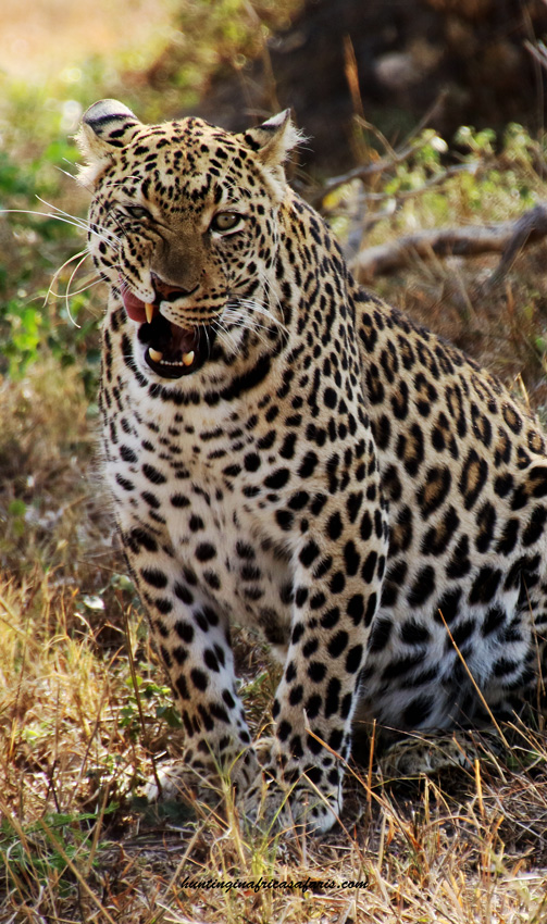 Leopard hunting South Africa