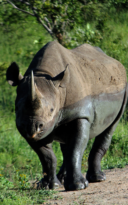 Trophy black rhino hunting South Africa